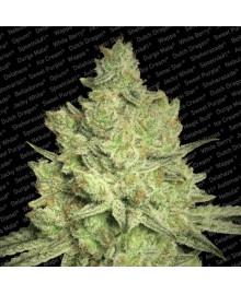 Paradise Seeds Jacky White