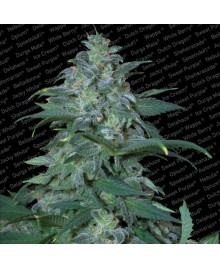 Paradise Seeds Magic Bud