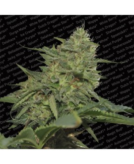 Paradise Seeds Original Cheese